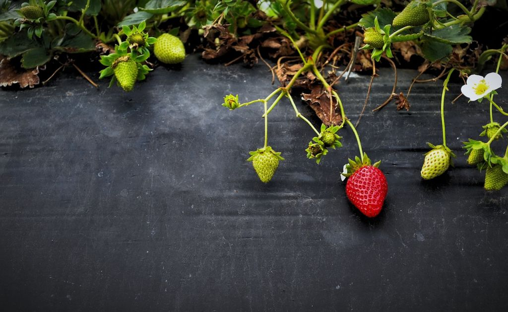 Potager de fraisiers