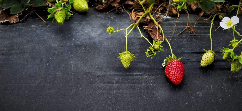 carre potager fraise- la maison de charlotte